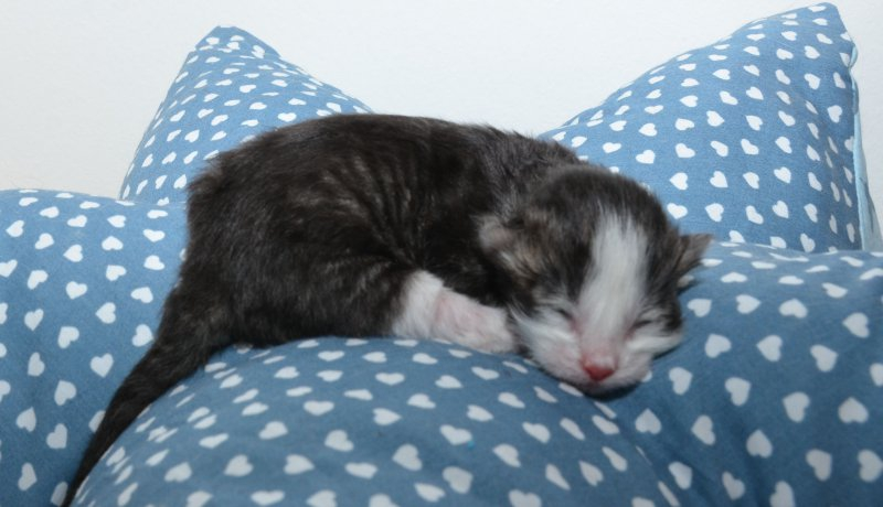 J-1, Katerchen, black tabby white, 1 Tag alt