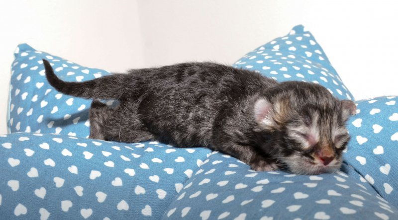 J-4, Katerchen, black tabby, 1 Tag alt