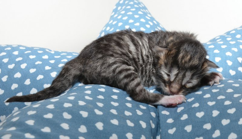 J-7, Katerchen, black tabby white, 1 Tag alt